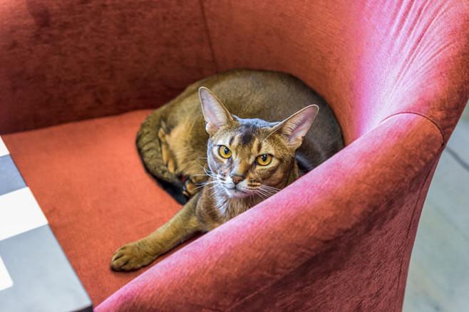 Домашний серый кот в розовом кресле